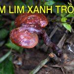 Nấm Lim Xanh Tự Nhiên Quảng Nam