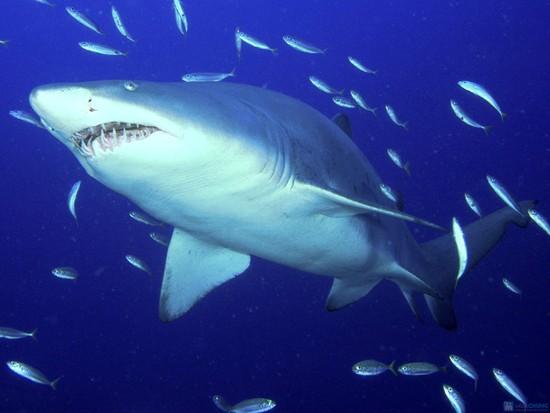 Vi cá mập giá bao nhiêu 1 lạng, địa chỉ bán vi cá mập uy tín